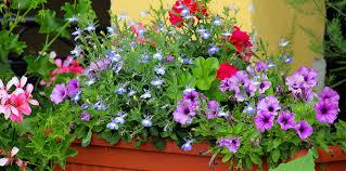 balkon grã npflanzen balkonpflanzen abc der ratgeber rund ums thema balkonbepflanzung