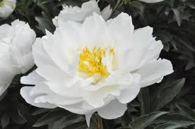 Peonies For Sale White Peonies For Sale To Gardeners