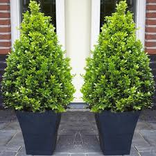 Topiary Planters - pair of premium quality topiary buxus balls with stylish