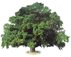 what is a deciduous tree deciduous trees dk find out
