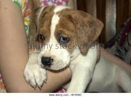 bluetick coonhound mix puppies blue tick hound stock photos u0026 blue tick hound stock images alamy