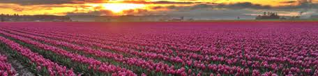 skagit valley tulip festival bloom map tulip bloom map