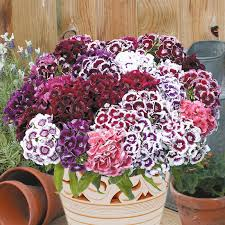 sweet william flowers sweet william electron mixed flower seeds d t brown flower seeds