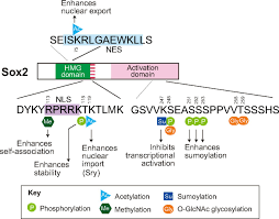 sox proteins regulators of cell fate specification and