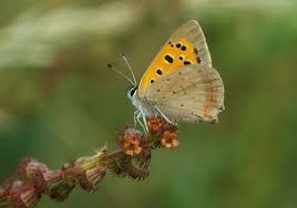 butterfly conservation small copper