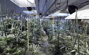 nico u0027s nuggets young plant problems for new growers high times