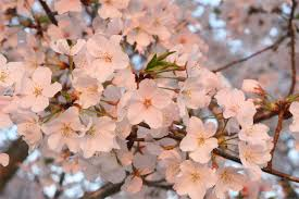 conyers cherry blossom festival