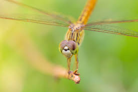 dragonfly totem u0026 spirit animal meaning