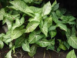 arrowhead vine syngonium podophyllum love these plants they