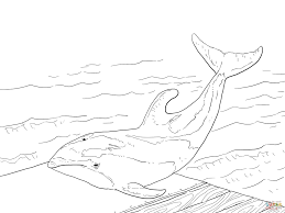pacific white sided dolphin coloring page free printable