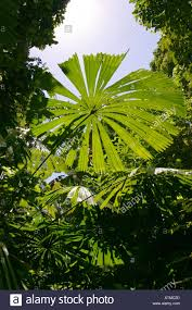 perfect lush green tropical umbrella palm leaf grows in the