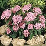 Pentas Flower Amazon Com Pentas Flowers Plants Seeds U0026 Bulbs Patio Lawn