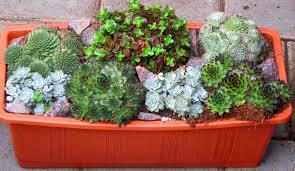 bepflanzter balkonkasten 40 cm sempervivum sedum wintergrün