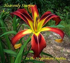 daylilies for sale form daylilies form daylily pictures of daylilies