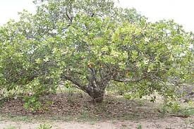 Judge A Tree By Its Fruit - cashew wikipedia