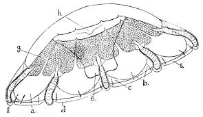 cuninidae wikipedia