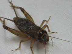Crickets Chirping Meme - 10 cool chirpy cricket facts speckled bush cricket kzu class