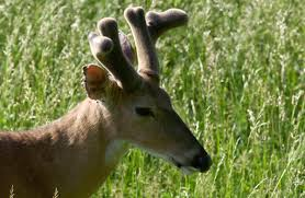When Do Deer Shed Their Antlers by Discover Nature Deer In Velvet Kbia