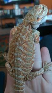 color labeling u2022 bearded dragon org
