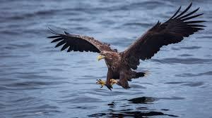 sea eagle bird safari in lofoten norway u2013 photographer anhede