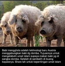 Meme Babi - awas ada babi berbulu domba okedisini