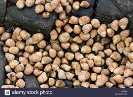 edible rocks common periwinkle common winkle edible winkle littorina