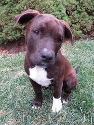 belgian sheepdog illinois wood dale il pit bull terrier meet indigo illinois a dog for