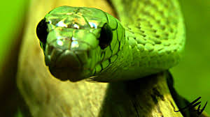 a green snake wallpapers photo collection are green snakes here