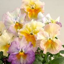 42 best edible flowers images on pinterest annual flowers