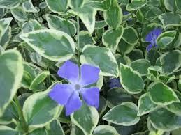 Vinca Flower Information - vincas how to grow and care for periwinkle plants vinca garden
