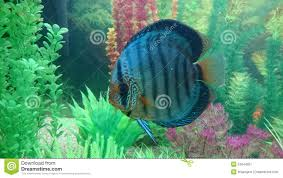 Home Blue Fish Blue Diamond Discus Fish Stock Photo Image 53244057