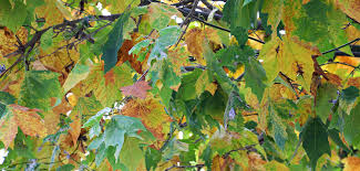 free images nature branch leaf food produce birch season