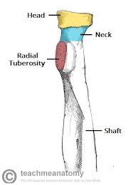 Anatomy Of The Human Body Bones The Radius Proximal Distal Shaft Teachmeanatomy