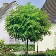 deciduous trees for small gardens cori matt garden