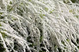 White Flowering Shrub - spiraea shrub with white flowers in spring stock photo picture