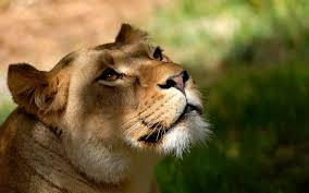 imagenes de leones salvajes gratis animales naturaleza leones animales salvajes fondos de pantalla gratis