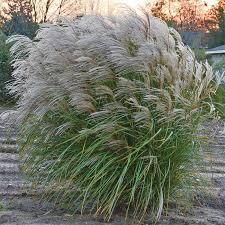 autumn anthem ornamental grass roots rhizomes