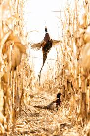best 10 pheasant hunting ideas on pinterest bird hunting games