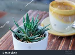 small aloe cactus white pot on stock photo 263617586 shutterstock