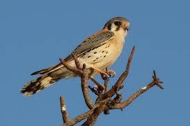 the birds of baja california sur and mainland mexico mexico
