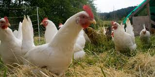 pastured or free range vs factory chicken how important is it