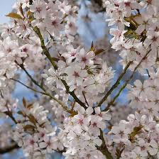 prunus pandora flowering cherry tree pomona fruits buy