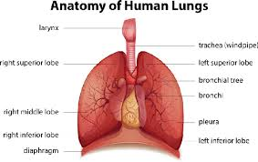 Human Anatomy Respiratory System Human Respiratory System Science And Technology Social Studies