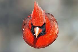 red angry birds u0027cranky u0027 cardinal dead