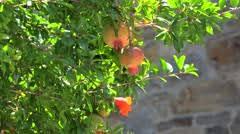 pomegranate tree stock footage royalty free pond5