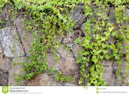 stone wall covered with climbing plants stock photo image 44444703