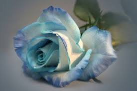 white and blue roses easy science experiment