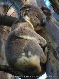 Angry Koala Meme - the problem with disease is that it spreads