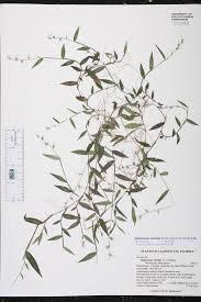 native south florida plants oplismenus hirtellus species page isb atlas of florida plants