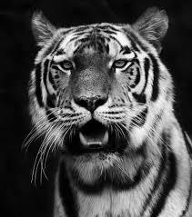 tiger black and white holmqvist flickr